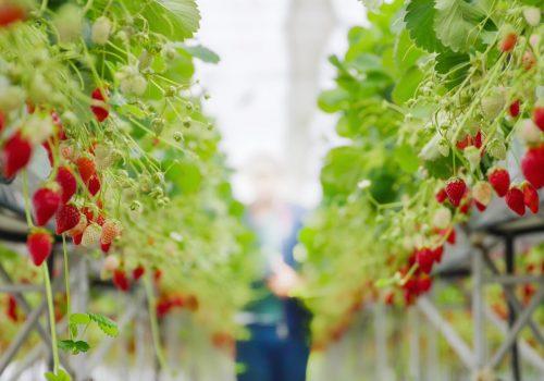 strawberry-farm-5S4VLZQ